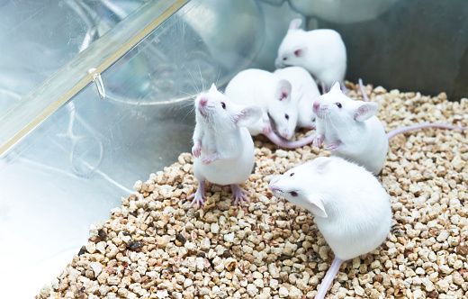 Small experimental white mice in cage 1043653700
