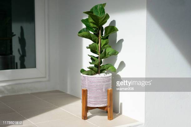 small ficus lyrata tree purifier air good for decoration in the house - flora foto e immagini stock