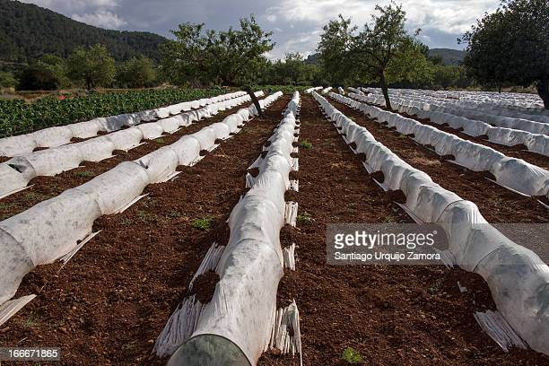 CONTENT] A small field with rows of strawberries protected each from predators by closed plastic tunnels in the island of Ibiza Balearic Islands Spain
