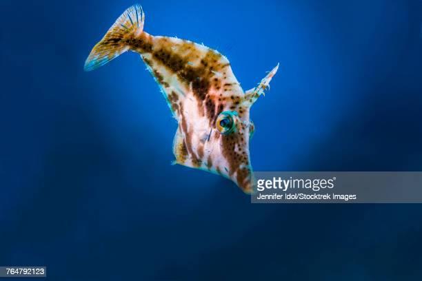 A small filefish in Grand Cayman, Cayman Islands.