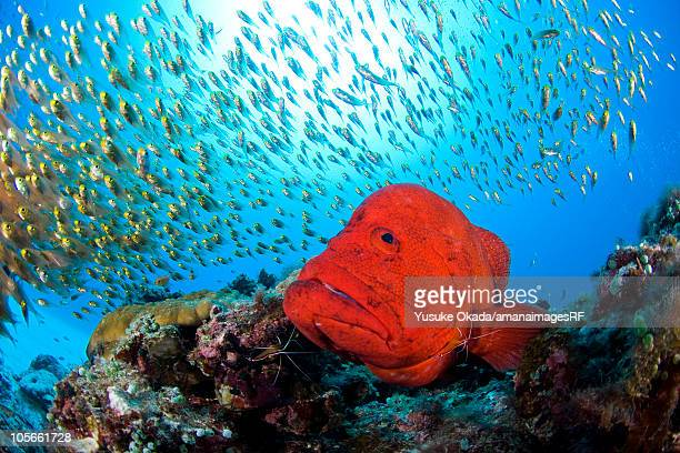 Small fishes and tomato grouper (Cephalopholis sonnerati)