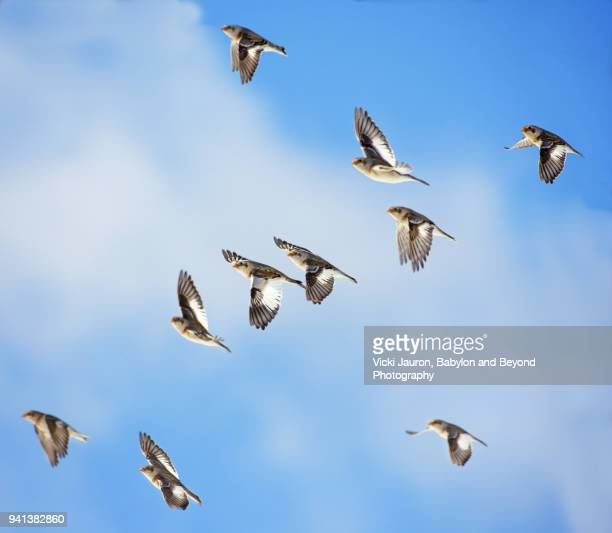 small flock of snow bunting against blue sky - wader bird stock photos and pictures