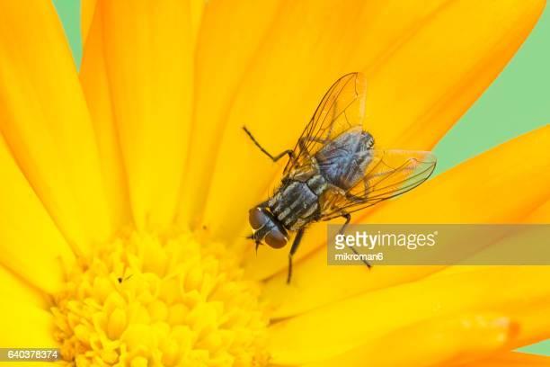 Small fly (flesh-fly  Sarcophaga carnaria) on calendula flower (Pot marigold)