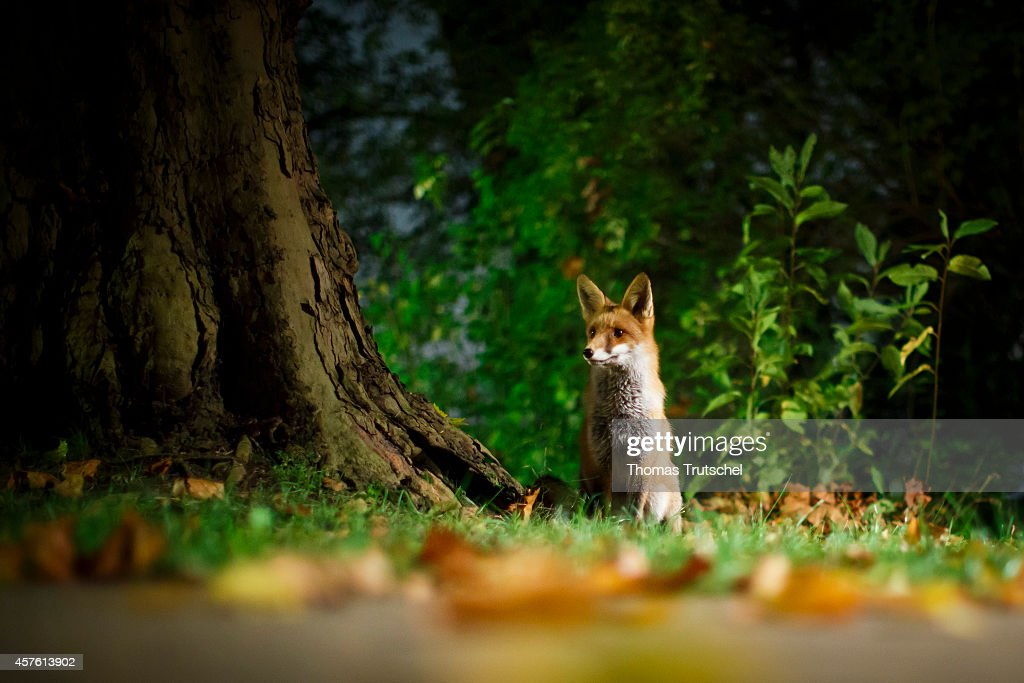 A small fox sits next to a road near Tegeler lake on October 21, 2014 in Berlin, Germany.