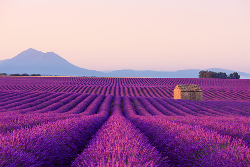Small French rural house in blooming lavender fields 1136569085