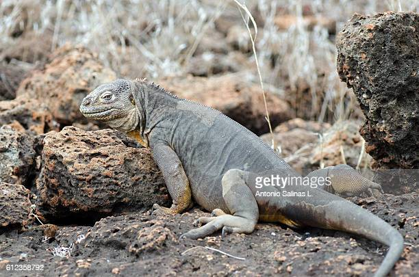 small galapagos land iguana - land iguana stock photos and pictures