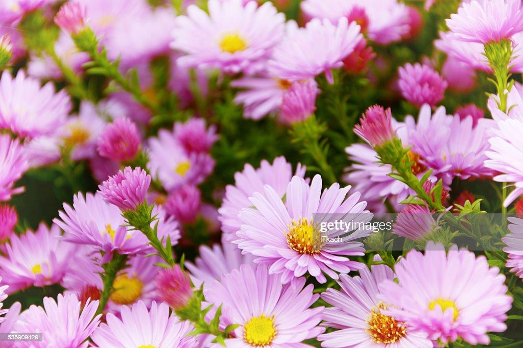 Jardín pequeño Astra flores. : Foto de stock