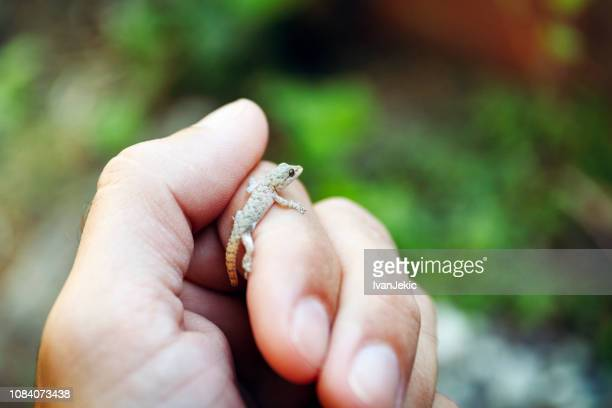 small gecko on the hand in nature - geco foto e immagini stock