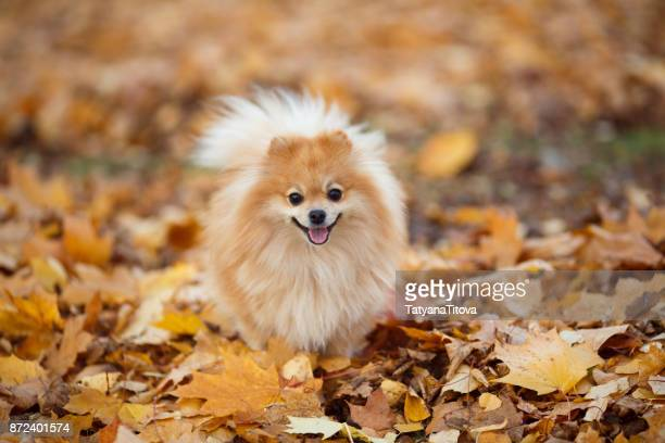 small german red spitz on a walk in the autumn park. symbol of the year 2018 - pomeranian stock photos and pictures
