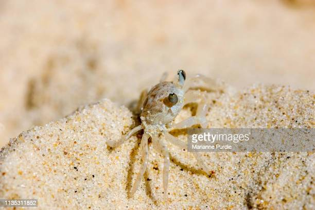 small ghost crab - crab stock pictures, royalty-free photos & images