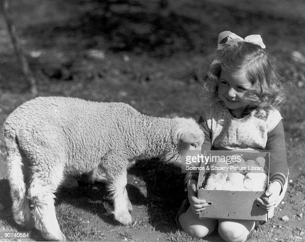 Small girl holding a box of chicks next to a lamb c 1930s