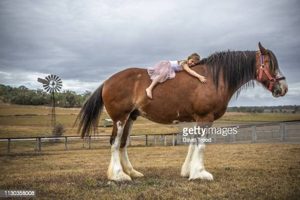 small girl lying on huge clydesdale horse - equestrian animal photos et images de collection