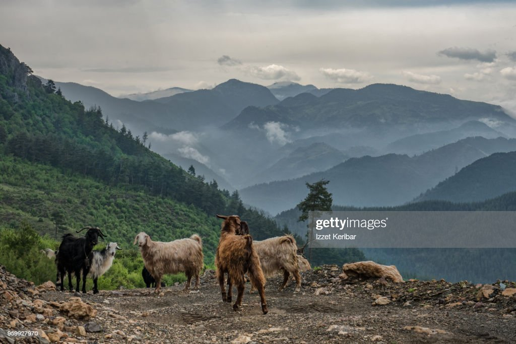 Small goat herd in Taurus moutains, southern Turkey : Stock-Foto