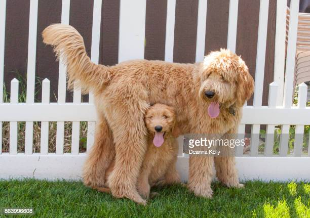 small goldendoodle standing underneath a larger one - goldendoodle stock-fotos und bilder