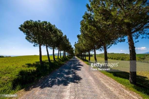 MONTEPULCIANO TUSCANY ITALY A small gravel road in agricultural landscape flanked by pine trees