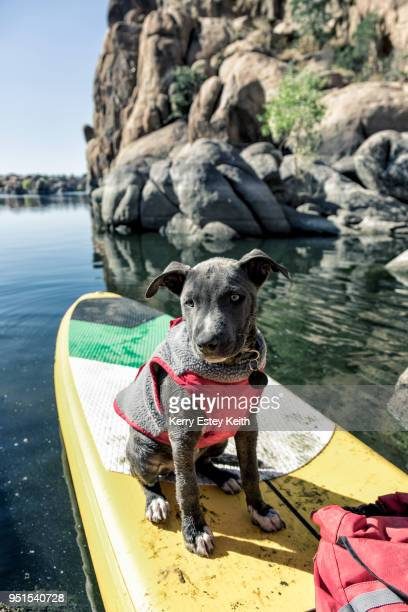 small gray dog in vest sits on front of paddle board, prescott, arizona, usa - kerry estey keith stock photos and pictures