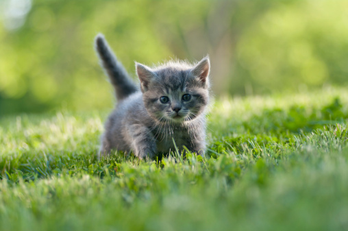 Small gray kitten with tail up walking on the grass 106519096