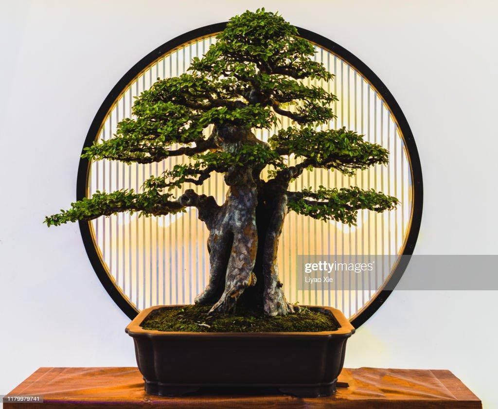 Small green bonsai tree : Stock Photo