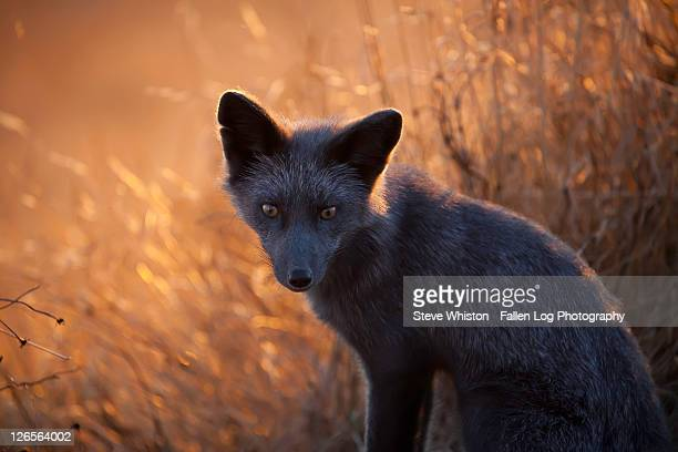 small grey fox in grass at sunset - gray fox stock photos and pictures