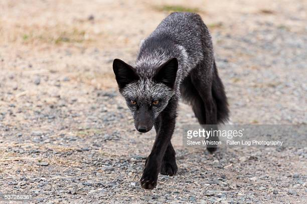 small grey fox walking on gravel - gray fox stock photos and pictures