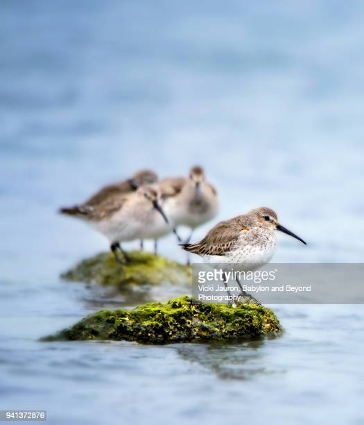 small group of birds on tiny island at robert moses state park - wader bird stock photos and pictures