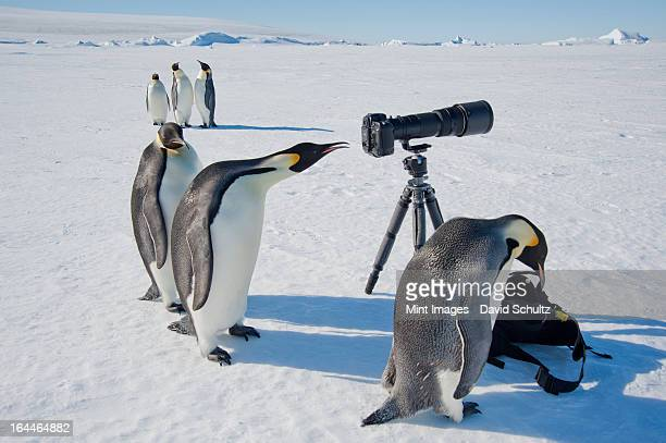 a small group of curious emperor penguins looking at camera and tripod on the ice on snow hill island. a bird peering through the view finder. - weddell sea stock photos and pictures