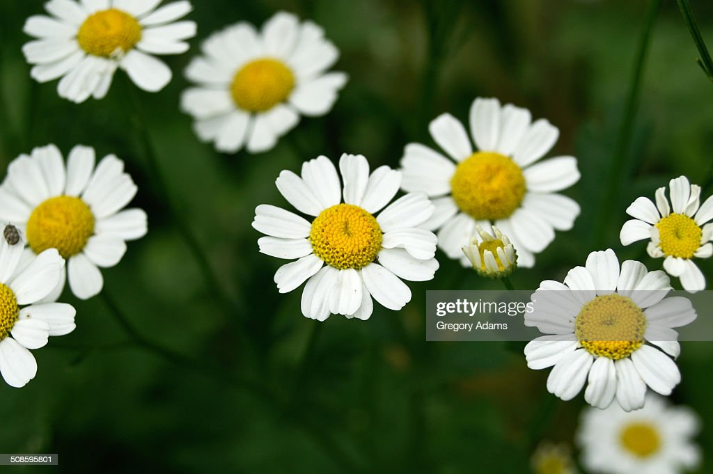 A small group of daisies : Stock Photo