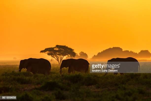 small group of elephants are walking at amboseli plains at the sunrise - savannah stock photos and pictures