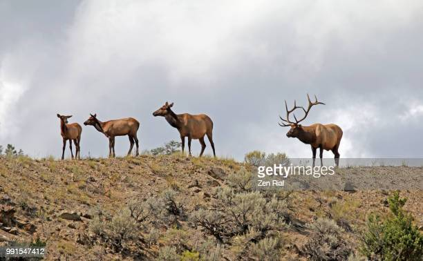 A small group of elk standing on a ridge against cloudy sky  - Wapiti (Cervus canadensis)