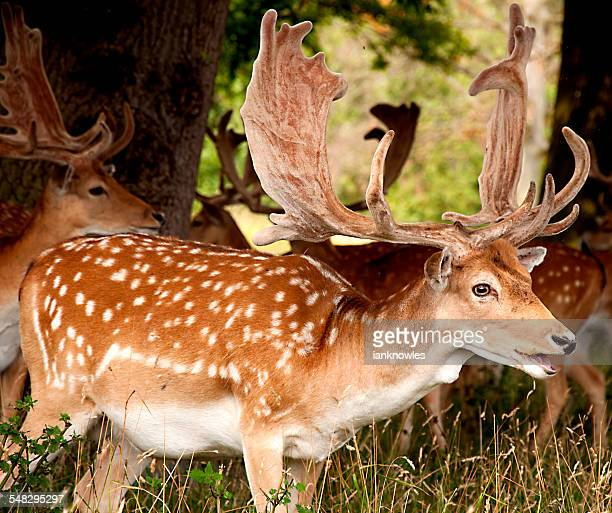 Small group of Fallow Deer
