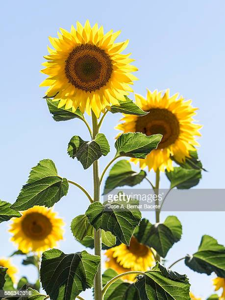 Small group of flowers of sunflowers illuminated by the Sun with a blue sky