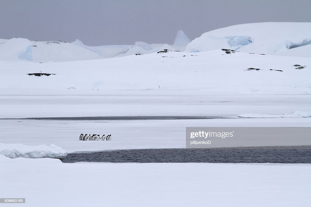small group of Gentoo penguins which stands : Stock Photo