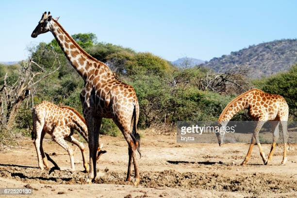 Small group of giraffes looking for minerals in the Madikwe Game Reserve in South Africa