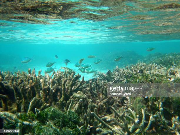 small group of green chromis on maldivian coral reef - damselfish stock photos and pictures