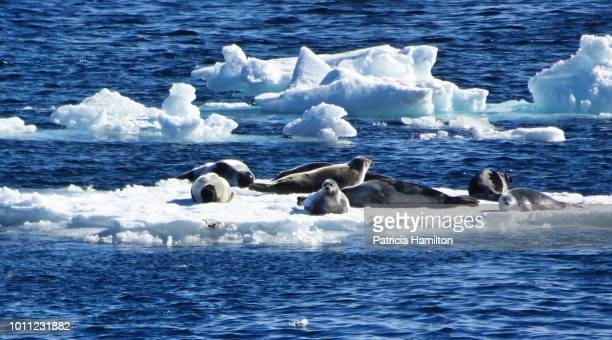 Small group of harp seals