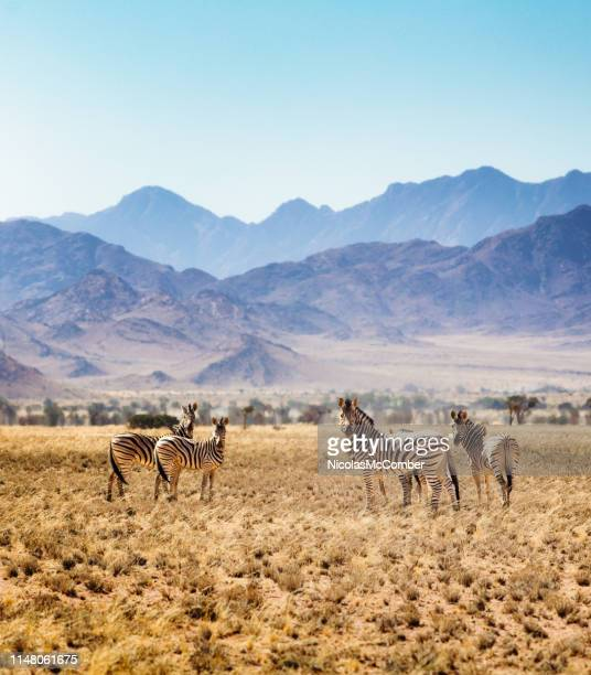 small group of hartmann's zebras in namibian steppes - zebra stock pictures, royalty-free photos & images