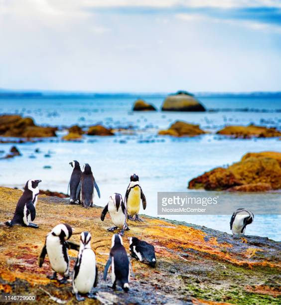 small group of jackass penguins socializing on mossy rock - african penguin stock pictures, royalty-free photos & images