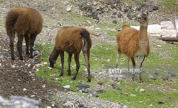A small group of llamas munch on some grass May 2 2001 at the Ameropan Oil Corp petroleum storage facility on the west side of Chicago The company...