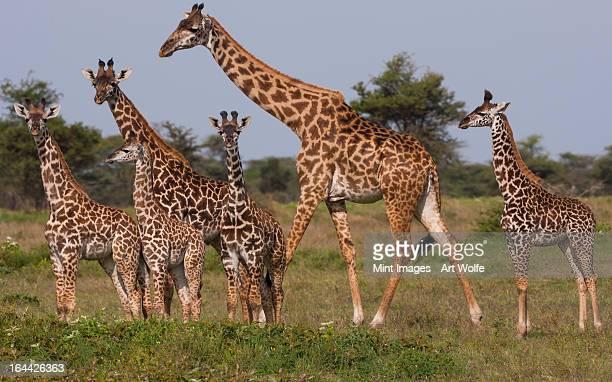 A small group of Masai giraffe in Serengeti National Park, Tanzania