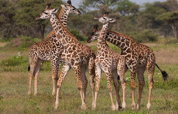 A Small Group Of Masai Giraffe, Serengeti National Park, Tanzania Wall Art