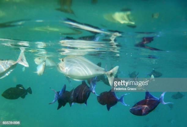 Small Group of Short-nosed Unicornfish (Naso brevirostris)