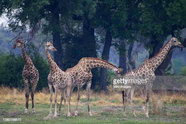 small group of south african giraffes, camalopardalis giraffa, moremi reserve, botswana, africa. - 動物の一団 ストックフォトと画像