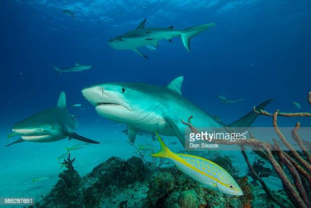 small group of tiger sharks swimming, tiger beach, bahamas - tiger shark stock photos and pictures