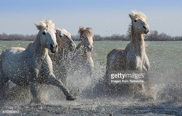 Small group of white Camargue horses running in water, France