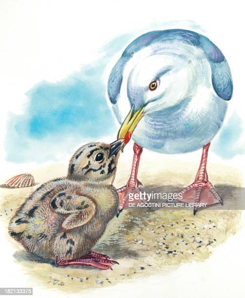 Small gull asking its mother for food illustration