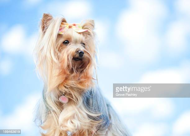 Small hairy dog against cloudy sky