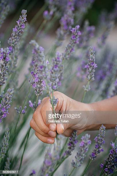 Small hand holding a branch of fresh lavender