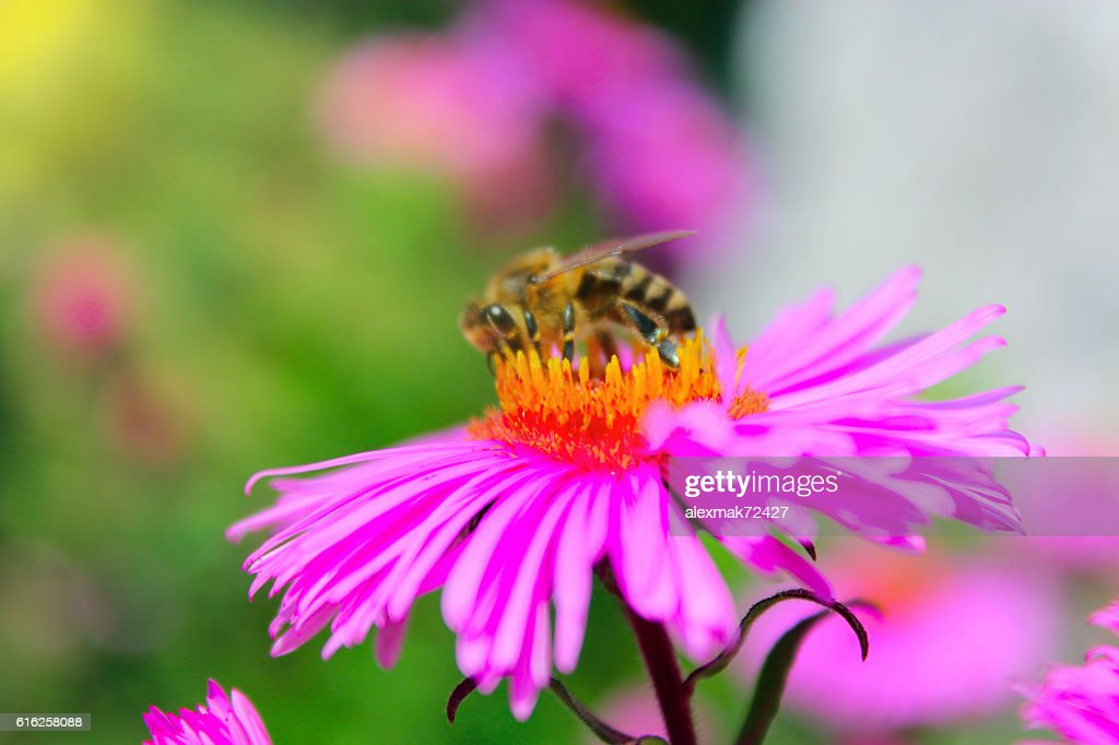 small hardworking bee on the aster : Stock Photo