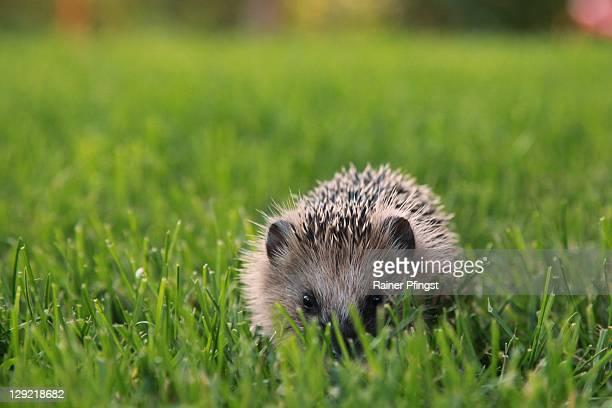Small hedgehog in garden