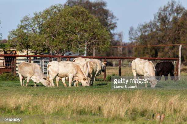 small herd 1 - lianne loach stock pictures, royalty-free photos & images